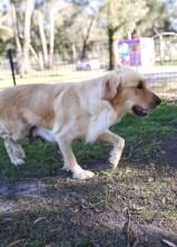 IVY - banskia park puppies - 1 of 50 (1)