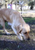 IVY - banskia park puppies - 1 of 50
