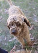 BOBBLES - Bankisa park puppies - 1 of 20 (11)