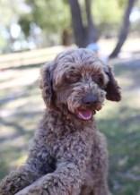 BOBBLES - Bankisa park puppies - 1 of 20 (12)