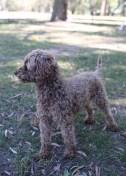BOBBLES - Bankisa park puppies - 1 of 20 (17)