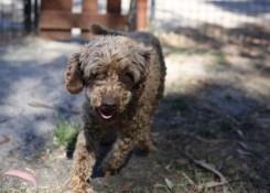 BOBBLES - Bankisa park puppies - 1 of 20 (18)