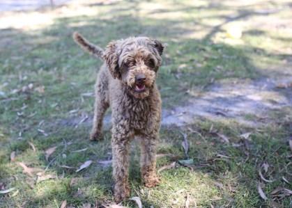 BOBBLES - Bankisa park puppies - 1 of 20 (7)