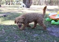 AJ - Bankisa park puppies - 1 of 47 (22)