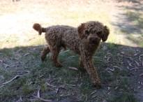 AJ - Bankisa park puppies - 1 of 47 (3)