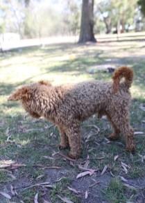 AJ - Bankisa park puppies - 1 of 47 (39)
