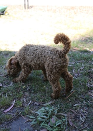 AJ - Bankisa park puppies - 1 of 47 (9)