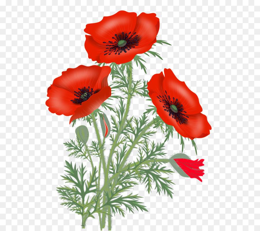 Set Bluhende Rote Mohnblumen Papaver Somniferum Die Opium Mohn