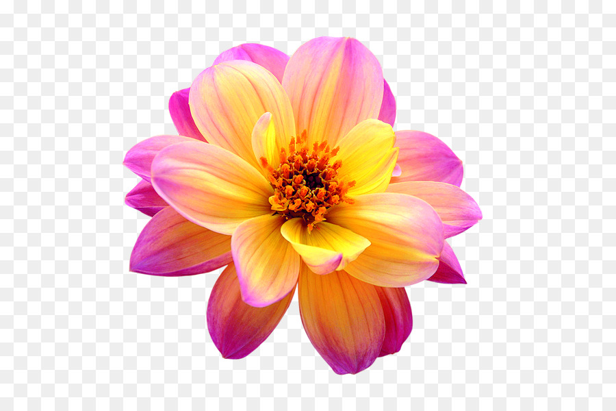 Cut flowers Dahlia   flower png png download   612 591   Free     Cut flowers Dahlia   flower png