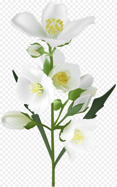 Flower White Clip art   jasmine flower png download   5009 8000     Flower White Clip art   jasmine flower