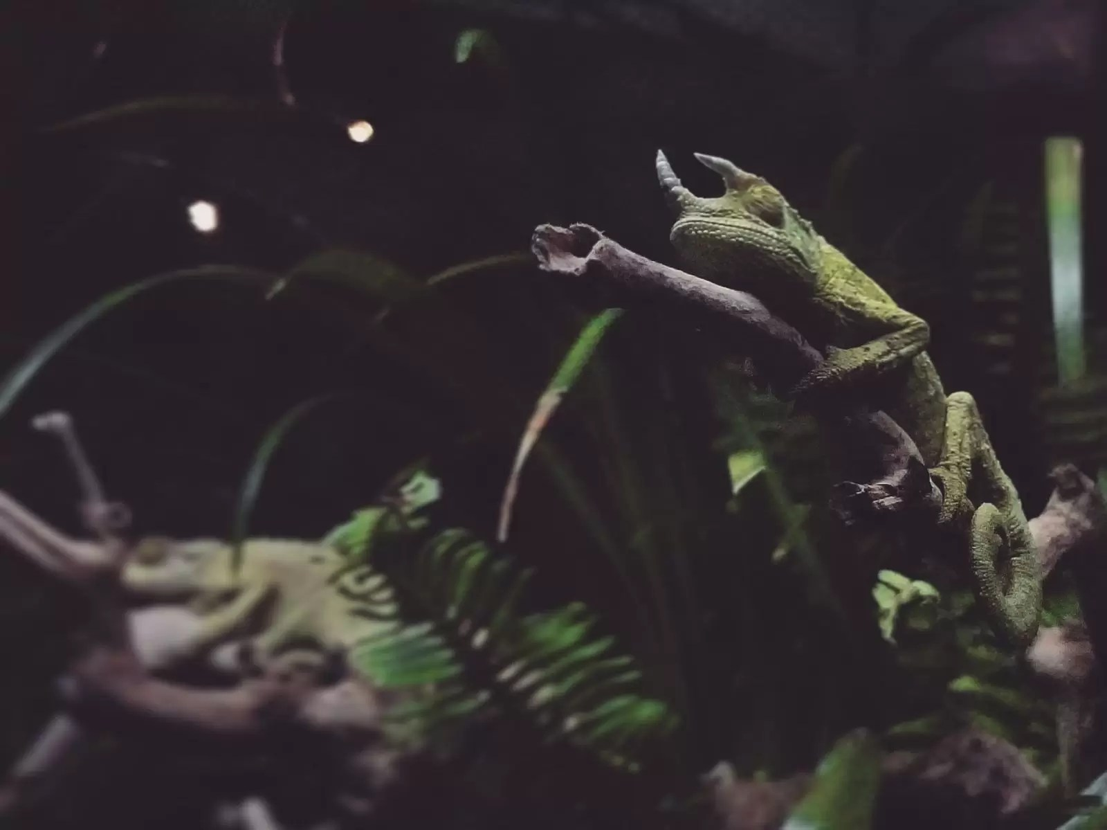chameleon sleeping holding on to branch