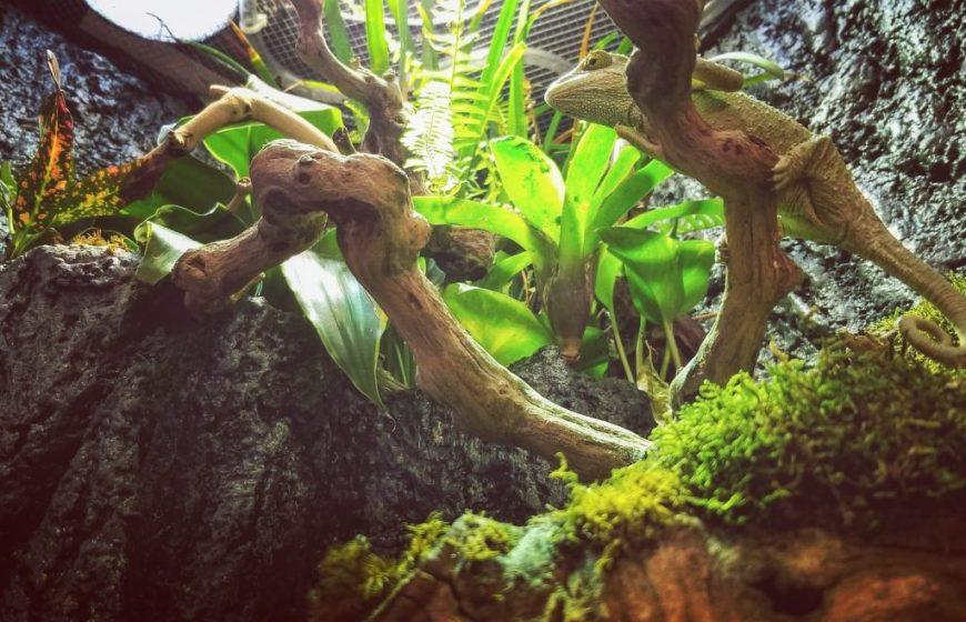chameleon in diy lighted paludarium