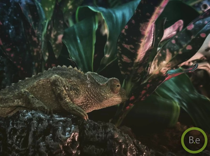 jackson chameleon are good paludarium animals