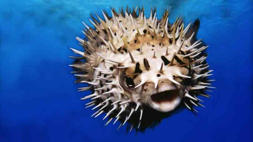 stay away from a pufferfish