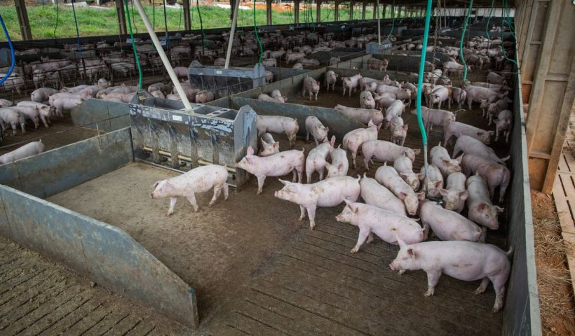 Brasil abate 13,04 milhões de cabeças de suínos no segundo trimestre