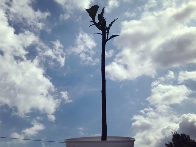 バオバブの木に水やり2018.09.18