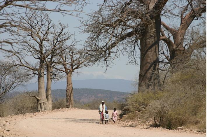 Baobab Widling
