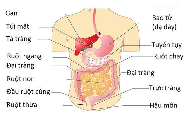 Hình ảnh giải phẫu bụng