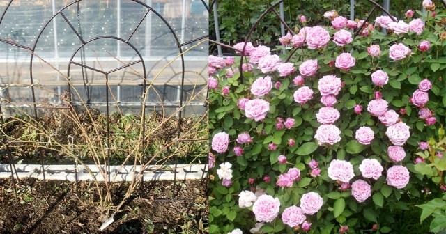 バラの冬剪定と誘引