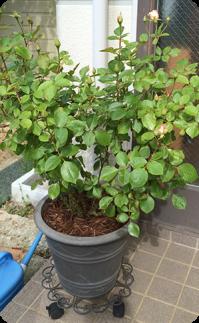 暑さ対策の鉢バラ