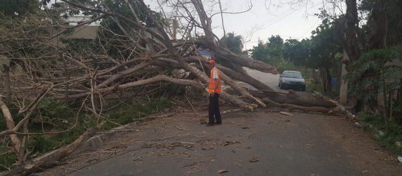 Ventarrón derriba árboles en varios sectores