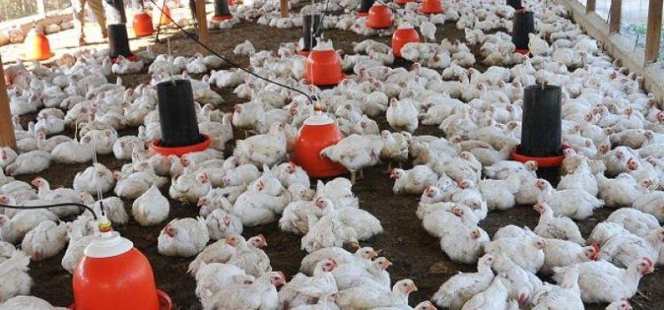 Productores avícolas solicitan ayuda a Gobierno