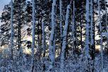 Snöstammar