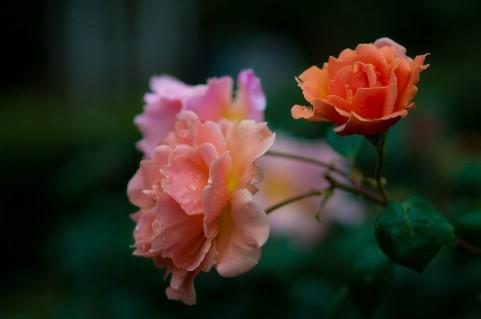 RSKバラ園 バラ見ごろ