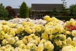 国営越後丘陵公園のバラの見ごろやバラまつりとバラ園情報