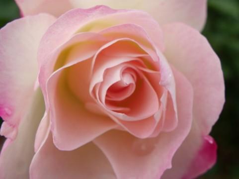 福岡市植物園のバラの見ごろやバラまつりとバラ園情報