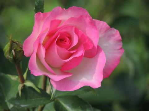バラの小径 ローズウオークのバラの見ごろやバラまつりとバラ園情報