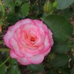 エコパーク水俣バラ園 バラ見ごろ