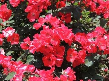 神代植物公園 バラ見ごろ