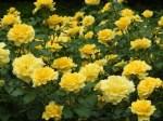 花フェスタ記念公園のバラの見ごろやバラまつりとバラ園情報