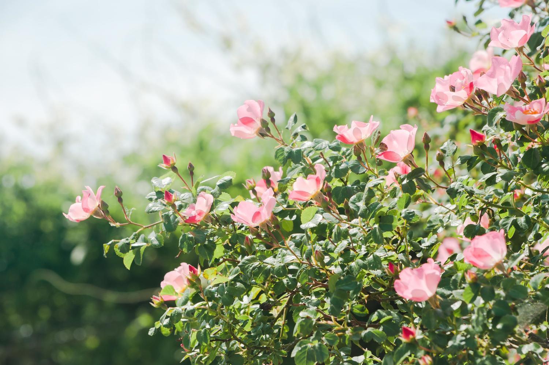生田緑地ばら苑 バラ見ごろ
