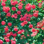 アカオハーブ&ローズガーデン バラ見ごろ