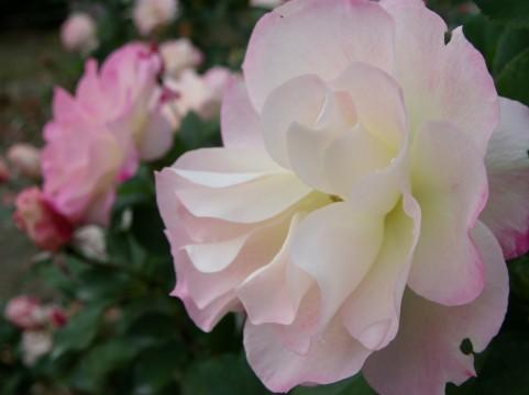 日本大通り バラ見ごろ