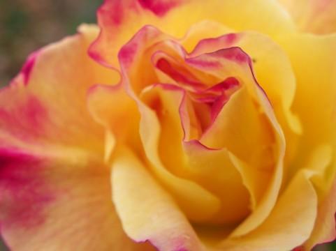 奇跡の星の植物館 バラ見ごろ