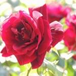 県立播磨中央公園 バラ見ごろ