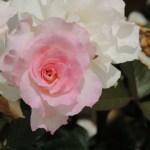 三陽メディアフラワーミュージアム バラ見ごろ