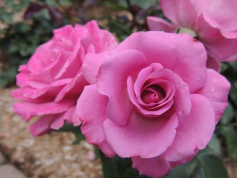 とっとり花回廊 バラ見ごろ