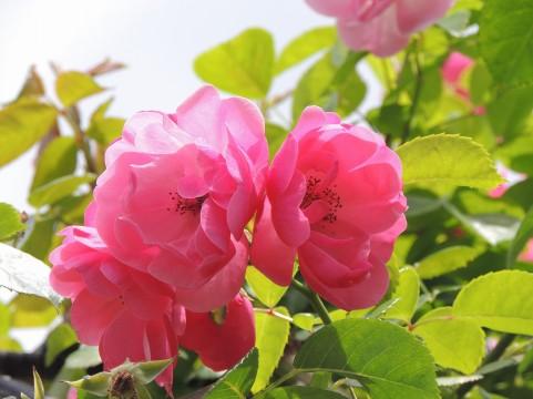 野津田公園のバラの見ごろやバラまつりとバラ園情報