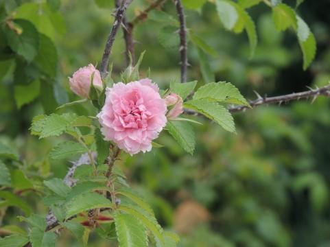 富士市中央公園 バラ見ごろ