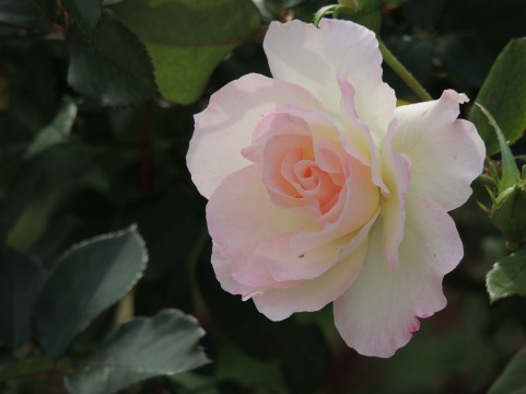 相模川ローズガーデンのバラの見ごろやバラまつりとバラ園情報