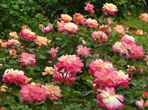 湧永満之記念庭園 バラ見ごろ