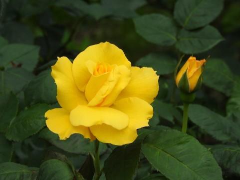 花と歴史の郷 蛇の鼻 バラ見ごろ