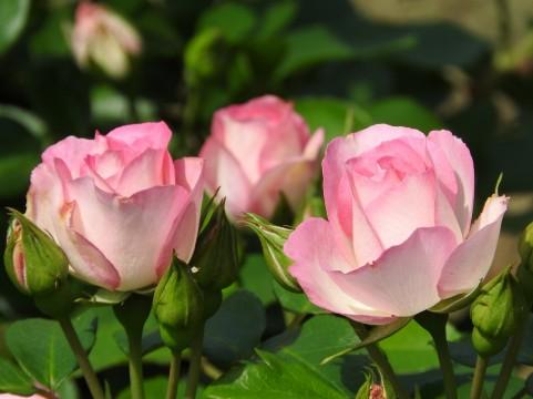 こもれび森のイバライド バラ見ごろ