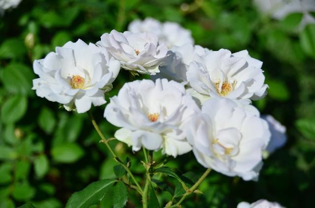西武園ゆうえんち ローズガーデン バラ見ごろ
