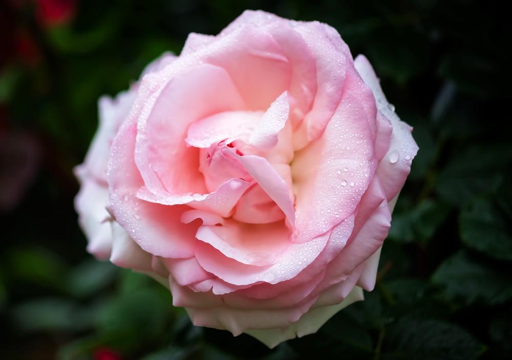 四季の里 緑水苑 バラ見ごろ