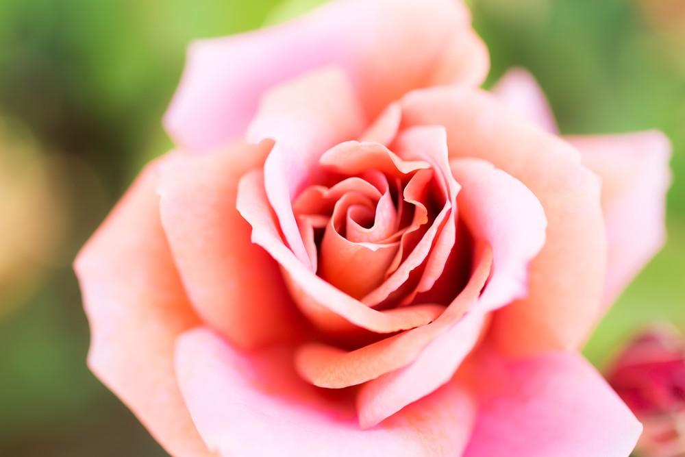 七ツ洞公園 バラ見ごろ
